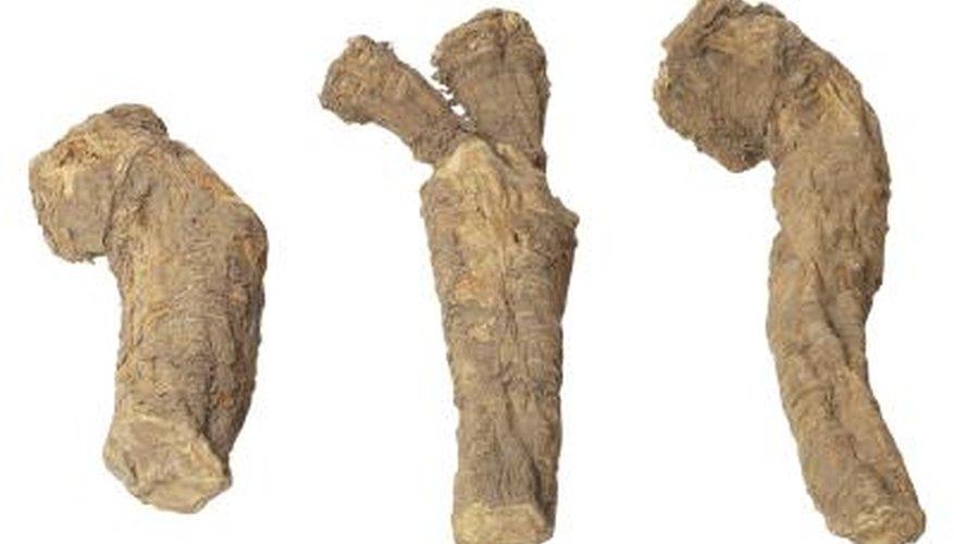 Cassava is poisonous if eaten raw.
