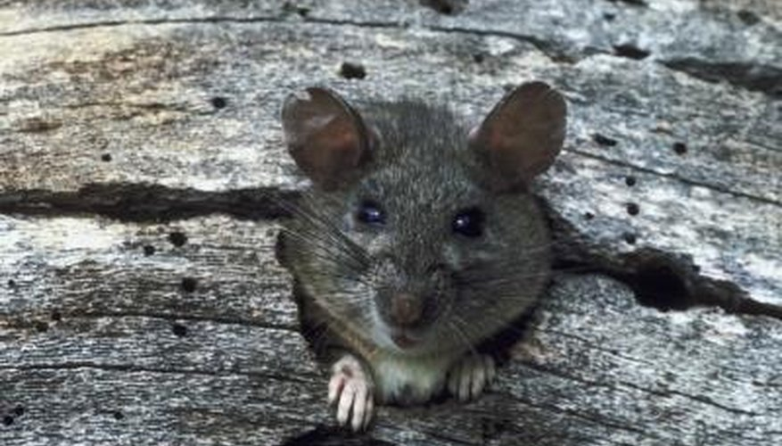 Shrews are mice-like animals.