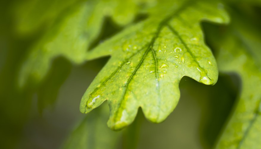How To Identify Oak Trees By The Leaf Shape Sciencing