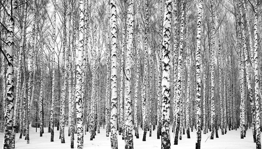 Birch Tree Identification Sciencing