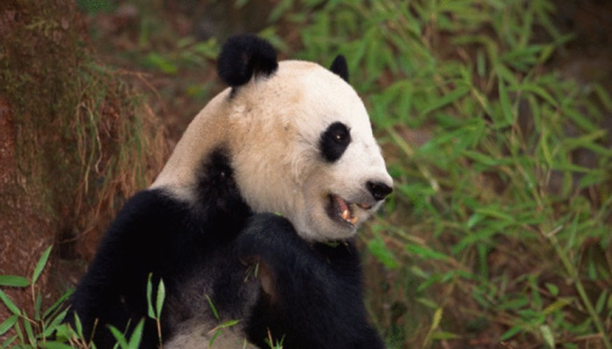 Human poaching and loss of habitat are the greatest threats to giant pandas.