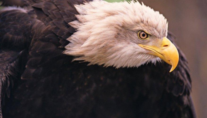 The bald eagle is no longer in danger of extinction.