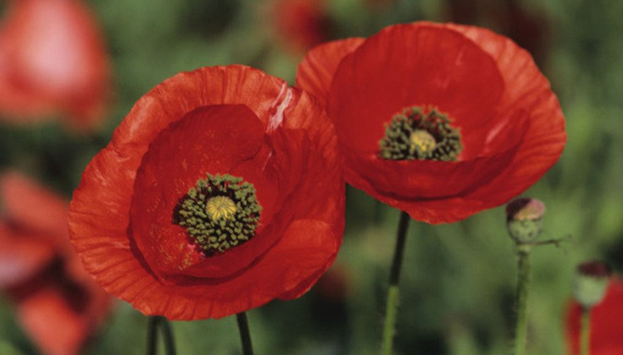 The corn poppy is the national flower of Poland.