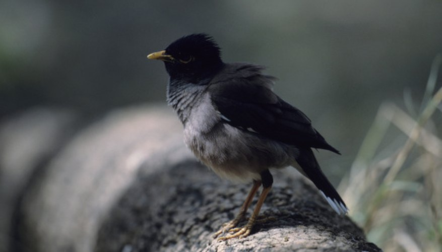 Mynahs fight violently for territory and nesting sites.