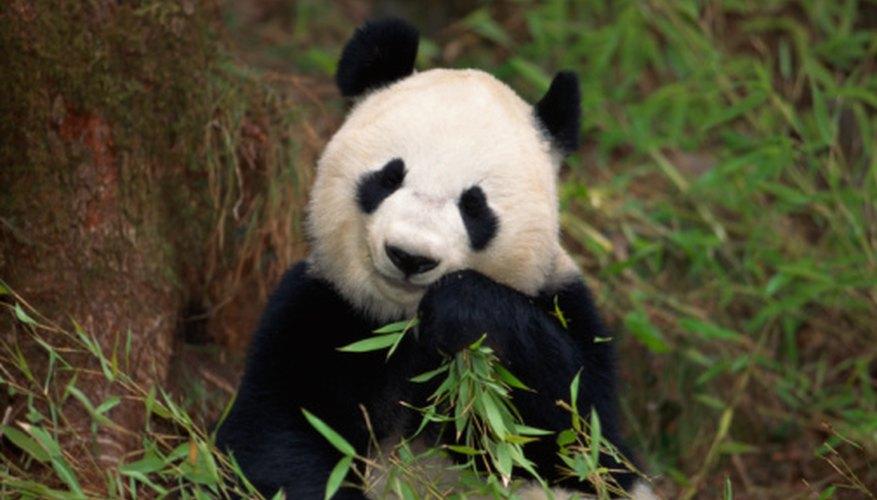 Pandas are in danger of extinction.