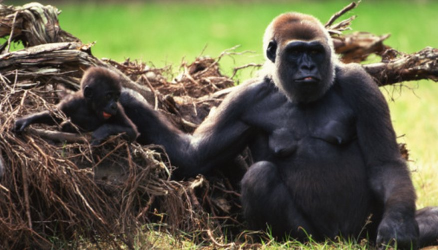 Gorillas are the largest of the great apes.