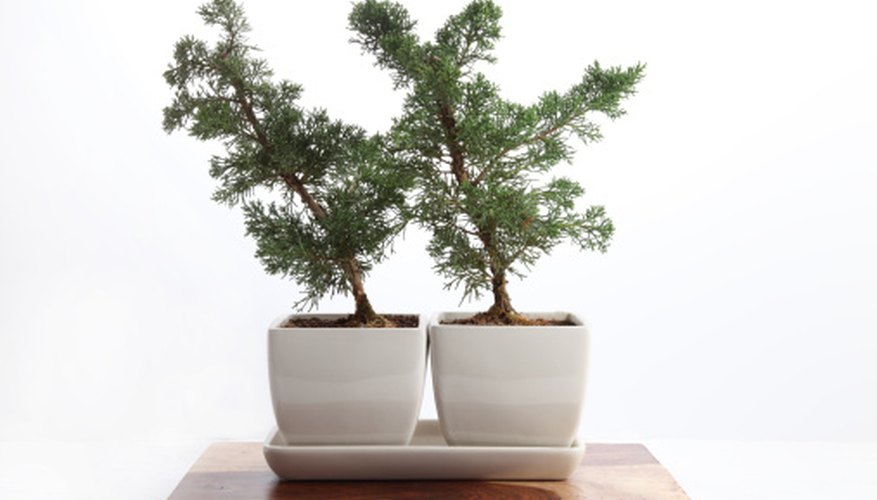Two bonsai trees signify good wishes to newlyweds.