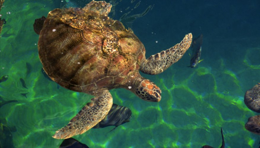 Turtles spend time in the water and on dry land throughout their lifetimes.