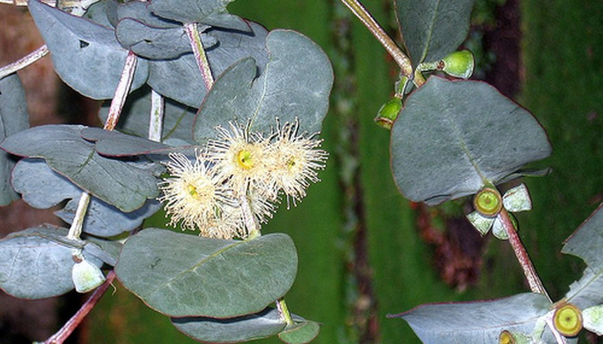 Eucalyptus plant in bloom