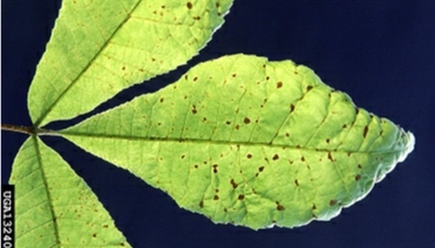 Pecan scab disease on leaves of pecan tree
