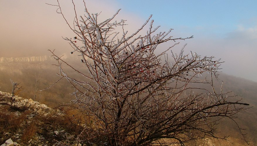 Ice-covered shrub in winter
