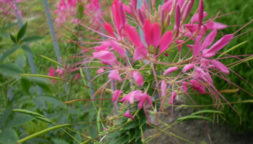 Cleome bloom