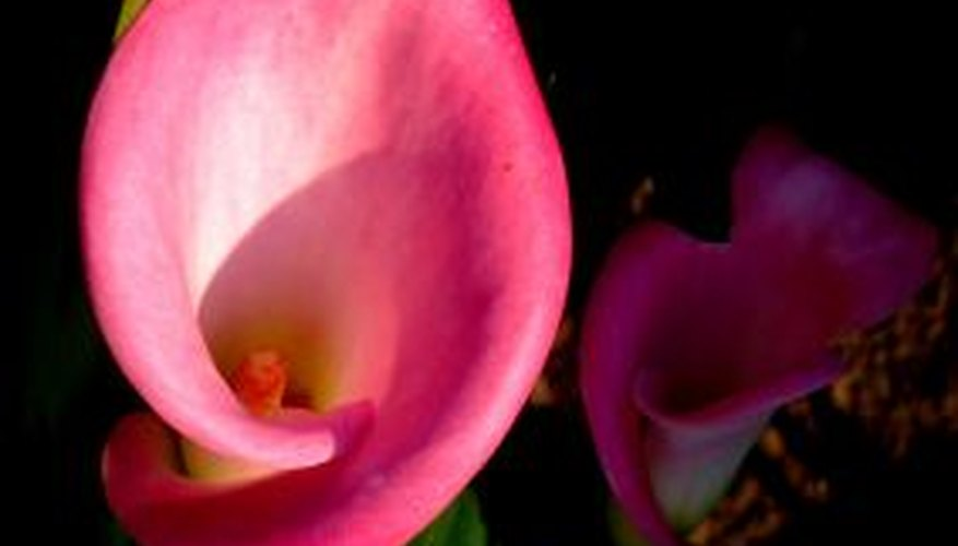 A pink calla lily.
