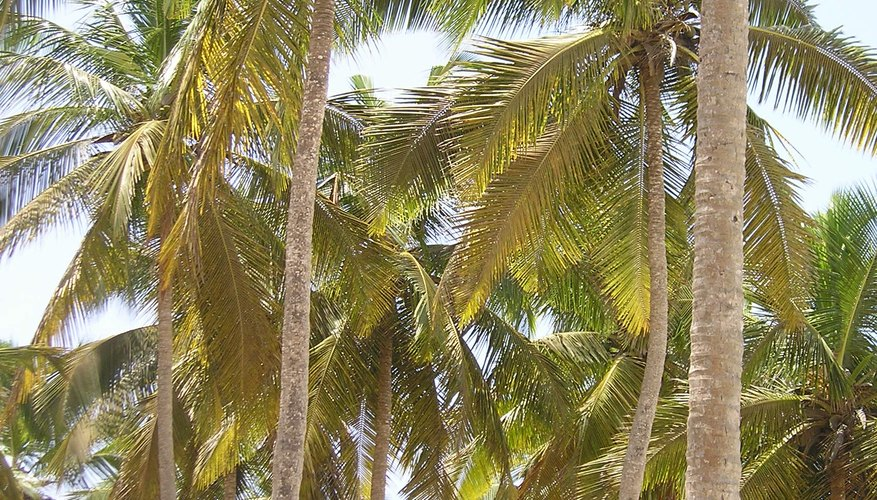 Coconut palms can reach 100 feet in height.