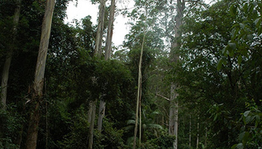Eucalyptus trees thrive in warm climes and moist soil.
