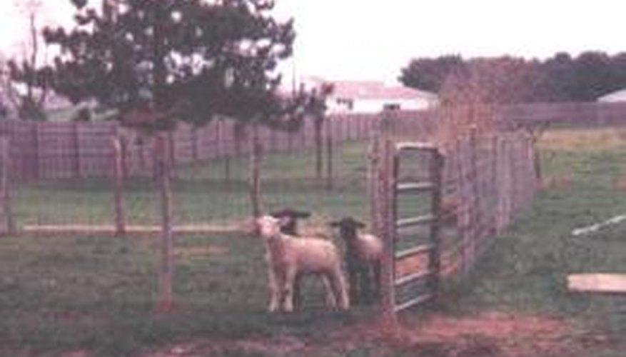 Tres corderos alimentados por biberón aguardando por comida.