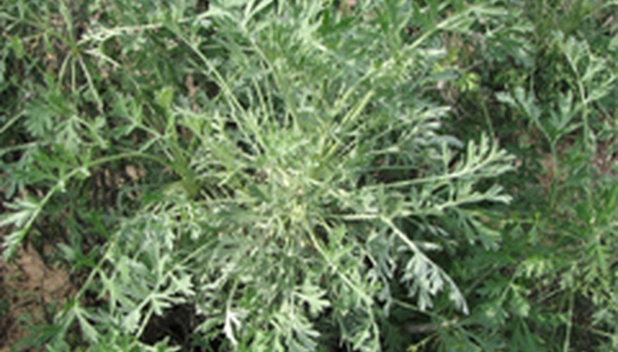 Southern Wormwood: King of the Garden