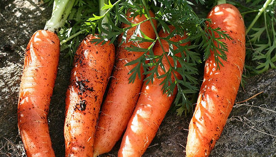 Carrots are harvested in their first year.