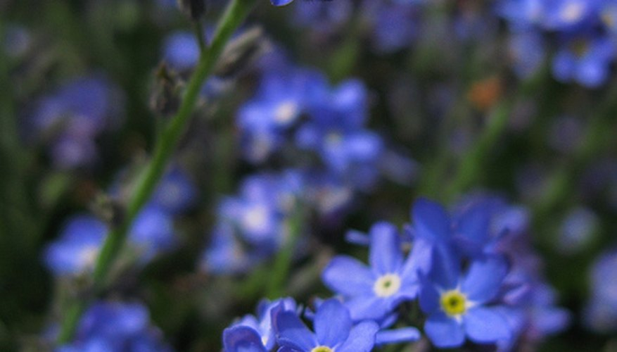 Forget-me-not flowers bloom in spring, summer or fall.
