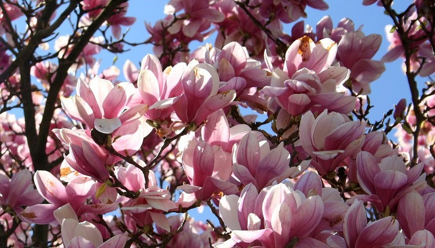 How To Start A Magnolia Tree Garden Guides