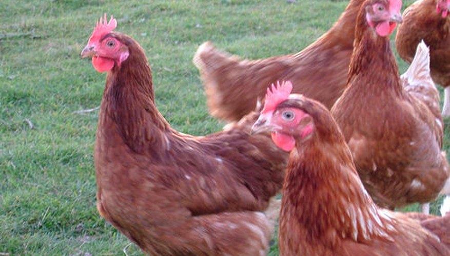 Los gallos mantienen a las gallinas a salvo de depredadores.