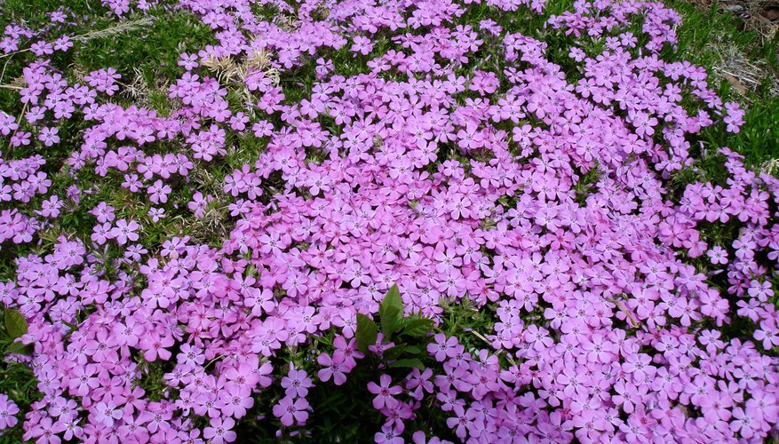 Beautiful creeping phlox groundcover