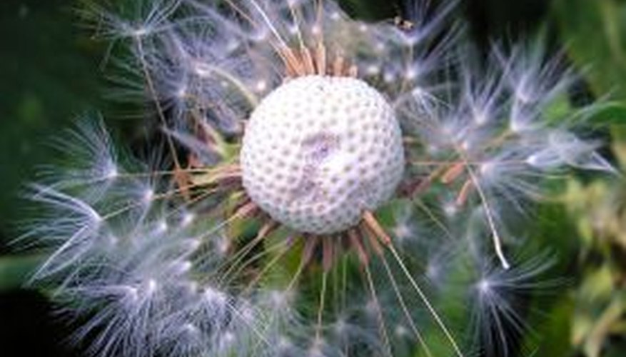 Pull weeds before they produce seeds like this dandelion.