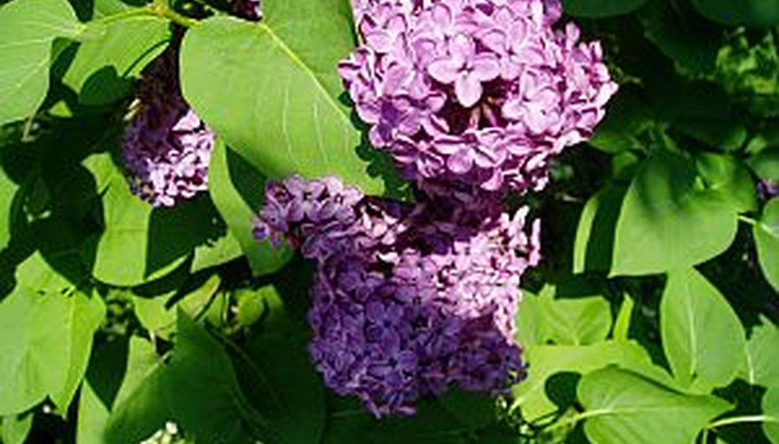 Plant lilac bushes in full sun for an old-fashioned addition to a garden.