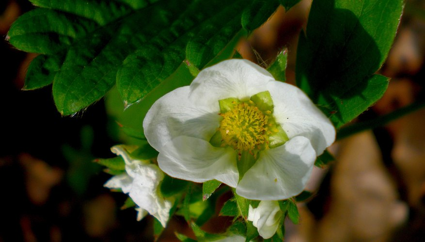 Blossoms of a woodland strawberry growing wild