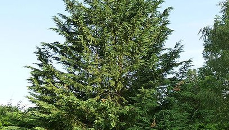 Cypress Leylandii Evergreen
