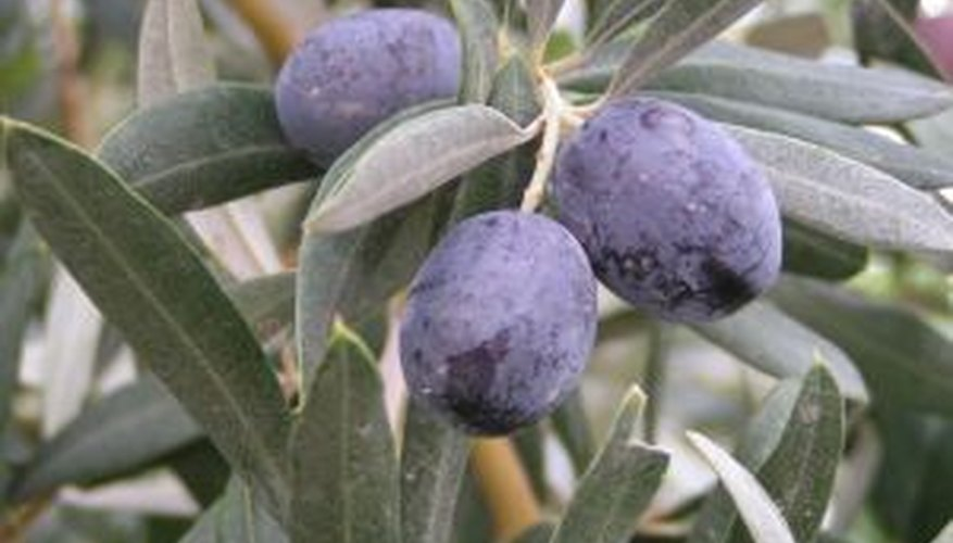 Fruiting olive tree.