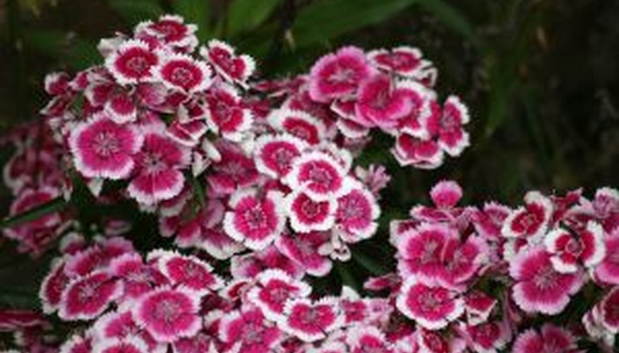 Well cared for Sweet William in a garden.