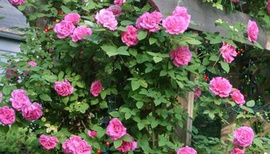 Roses on an arbor