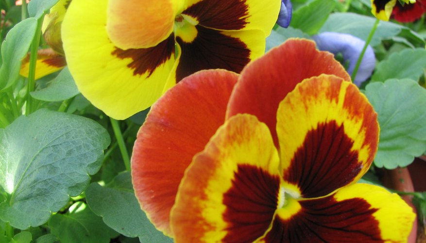 Pansies offer brilliant blooms.