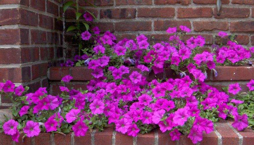 Petunias will bloom all season long.