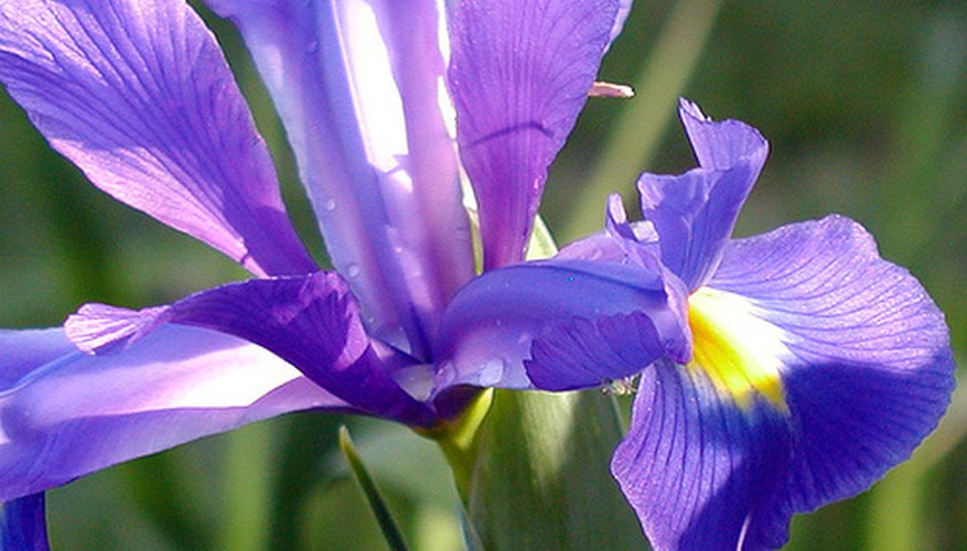 Dutch Iris in bloom.
