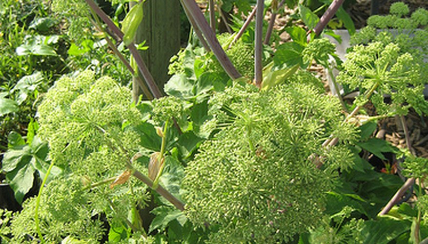 Angelica seeds need to be planted when harvested.