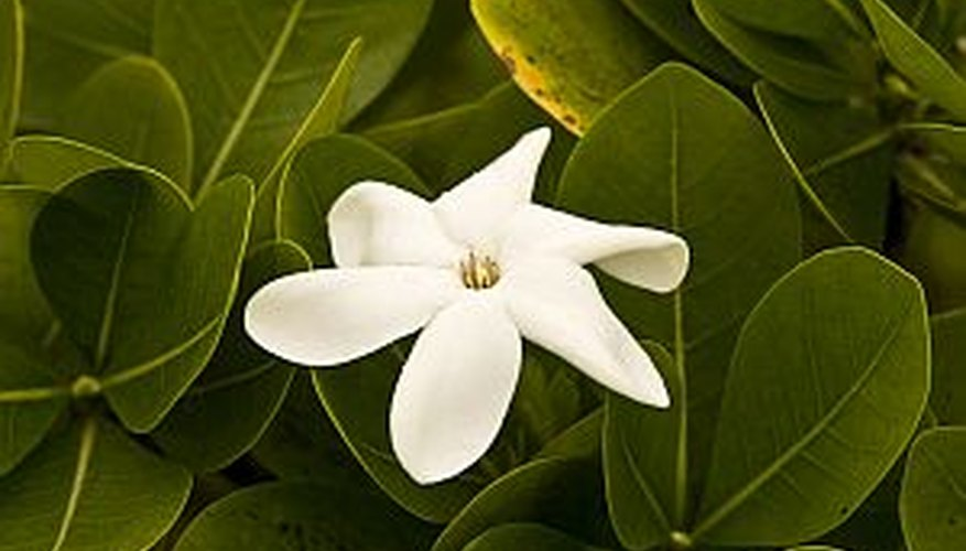 Beautiful gardenia blossom among green foliage