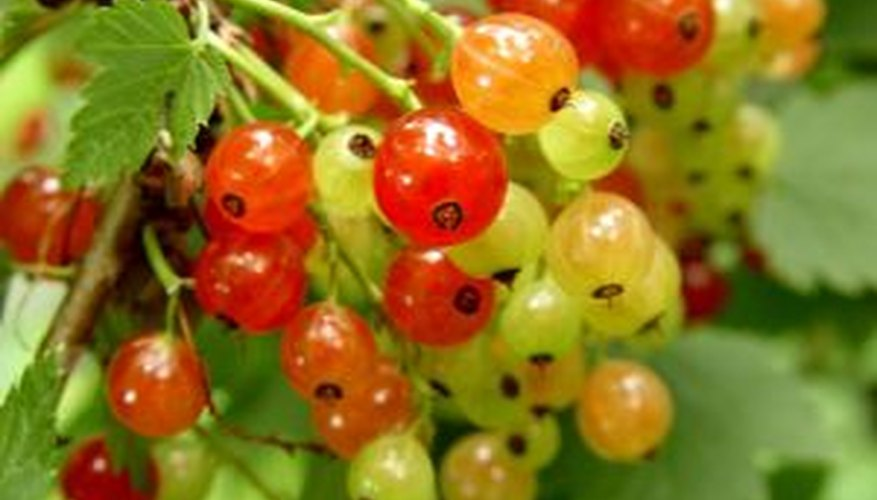 The show of changing colors as golden currant fruits ripen.