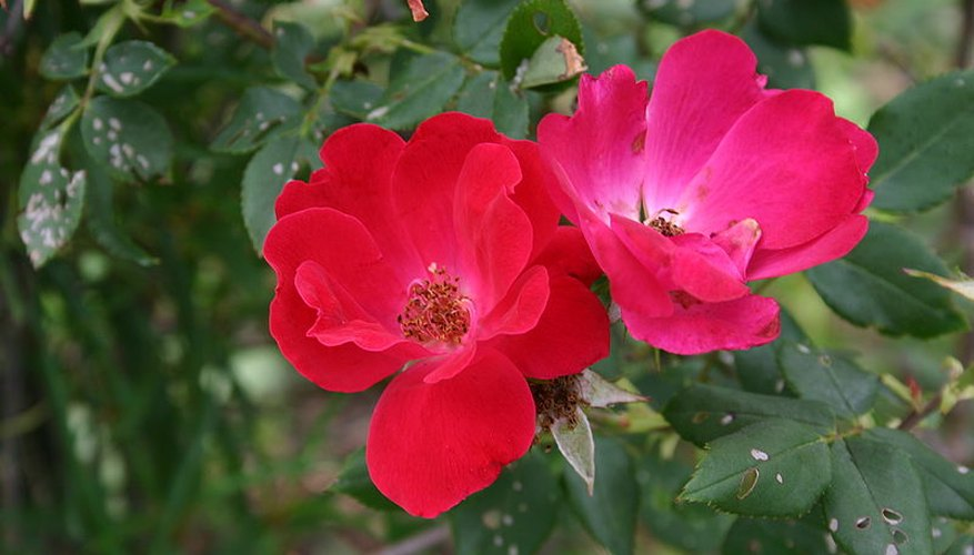 Knock Out shrub roses in bloom.