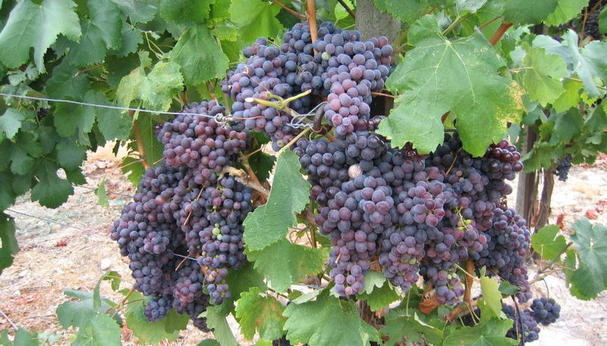 Bunches of grapes on the vine.