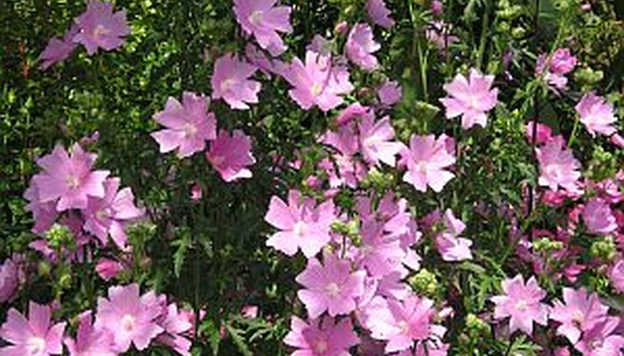 Garden phlox at the height of bloom