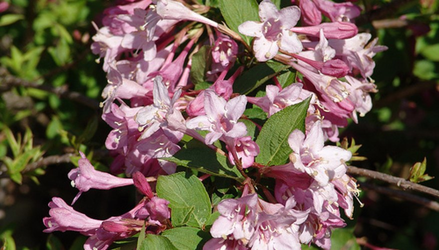 Blooming weigela shrub