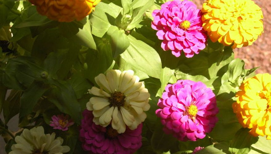 Zinnias are heat loving plants.
