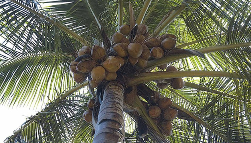 Coconuts ready for harvest