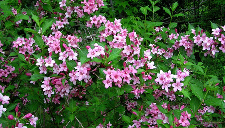 Weigela bush.