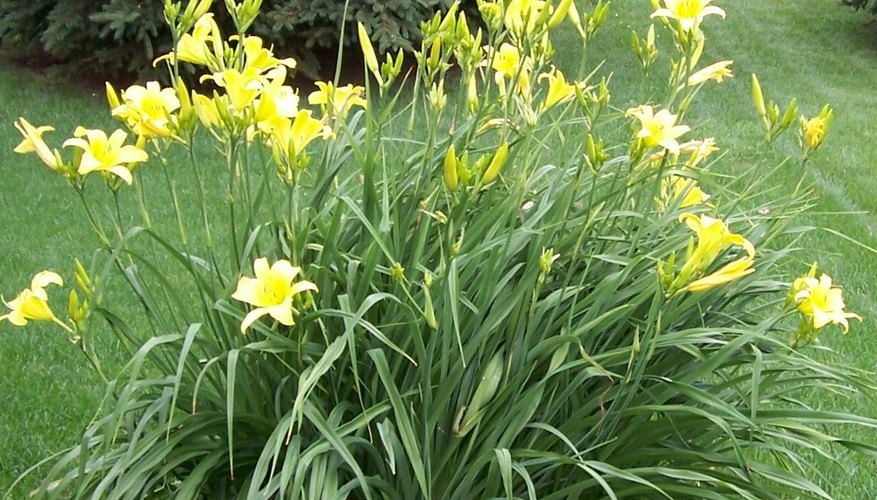 Day lilies need little pruning.