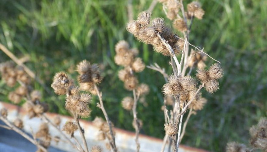 Burdocks are aggressive weeds.