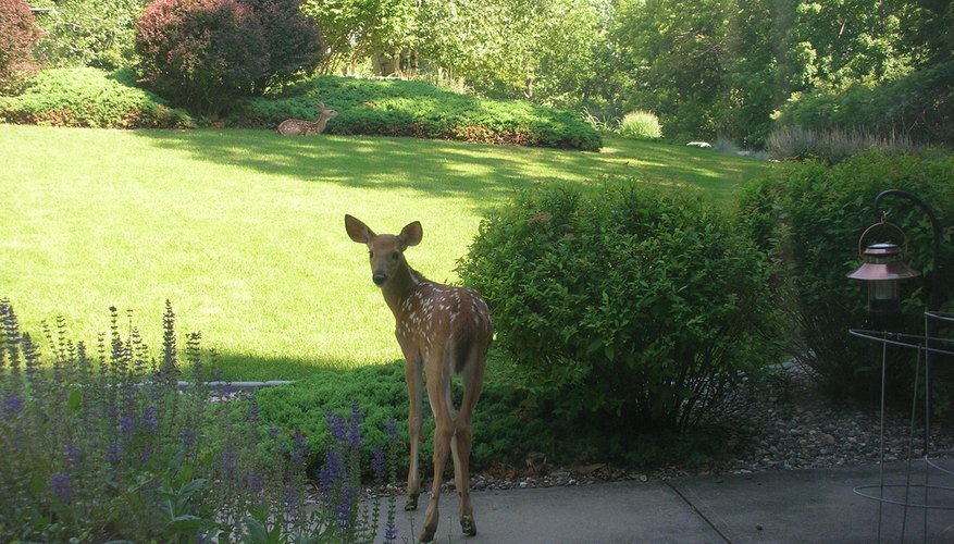 Deer like to snack on shrubs.