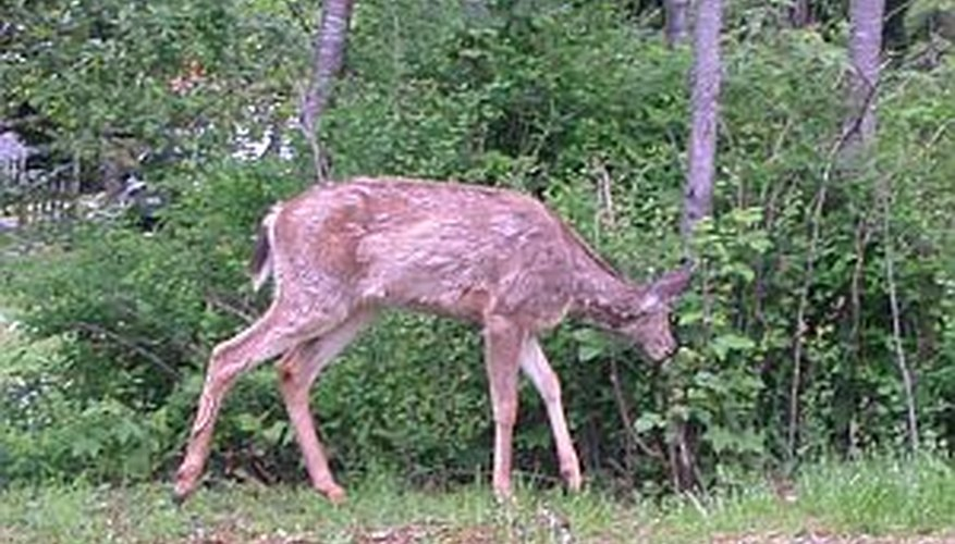 Make homemade deer repellants to keep deer from plants.